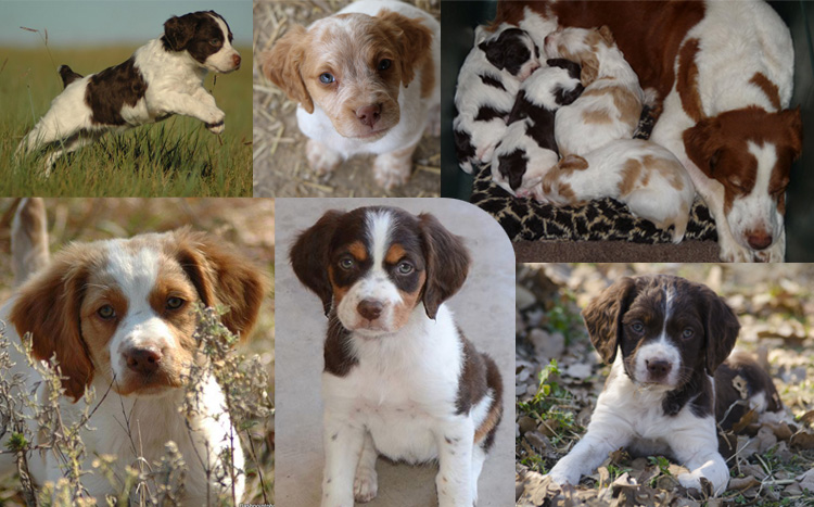 Alar Brittanys - Brittany Breeder/Puppies for Field, Show, Hunting